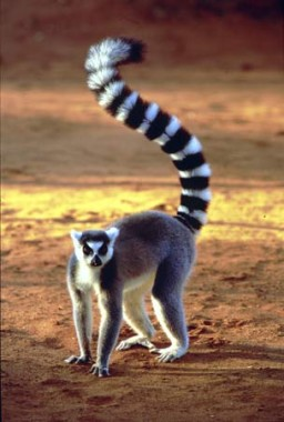 Ring-Tailed-Lemur